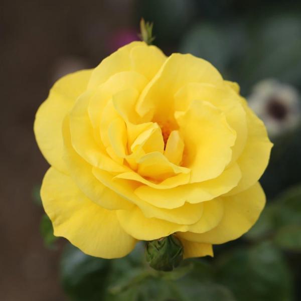 Golden Wedding Gift Rose