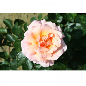 Climbing Rose Compassion 4L