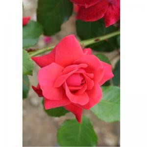 Climbing Rose Danse Du Feu 4L