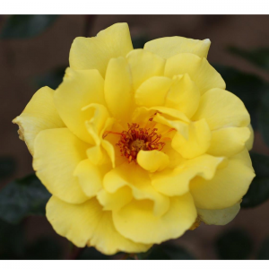 Climbing Rose Golden Showers 4L