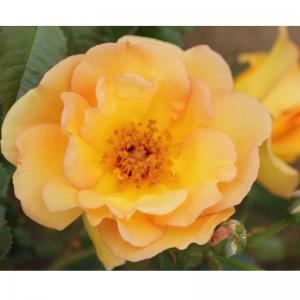 Climbing Rose Maigold 4L