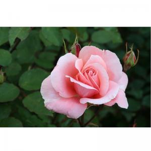 Climbing Rose Dancing Queen 4L