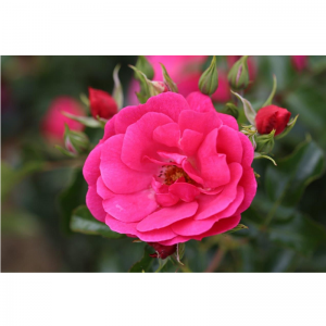 Climbing Rose Flower Carpet Pink 4L