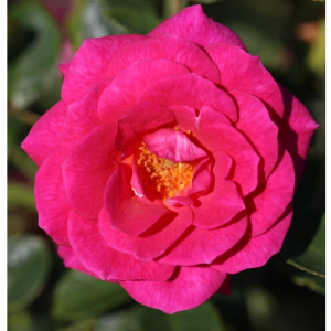 Climbing Rose Gloriana 4L