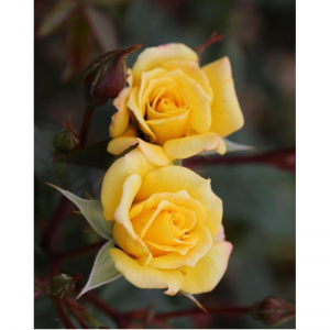 Climbing Rose Laura Ford 4L