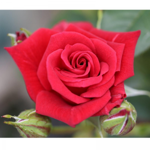 Climbing Rose Love Knot 4L