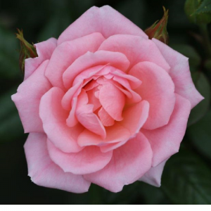 Climbing Rose Star Performer 4L