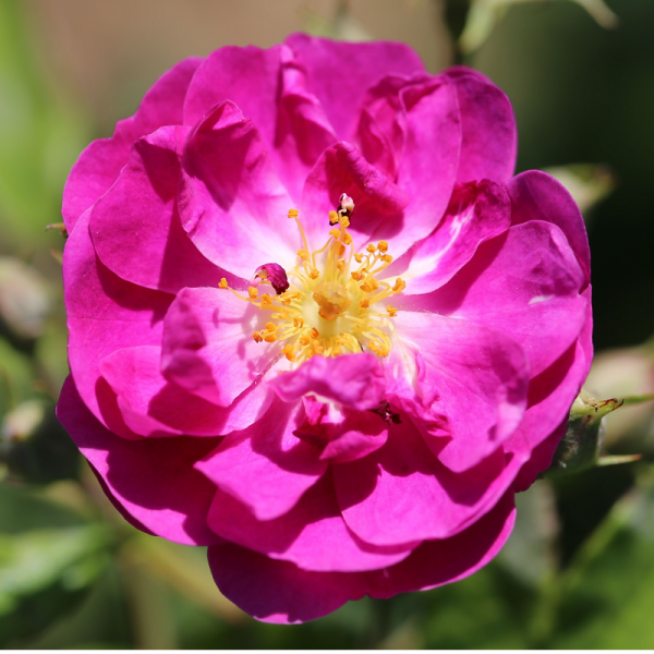 Climbing Rose Purple Skyliner 4L