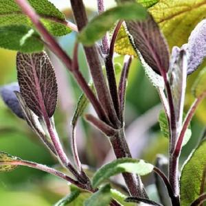 Sage Purple 1L