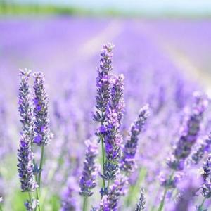 Lavender Hidcote 1L