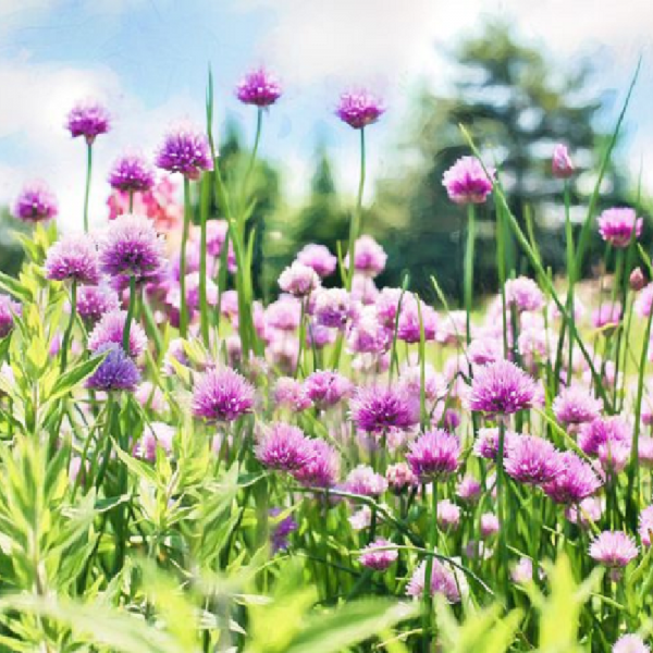Chives 1L