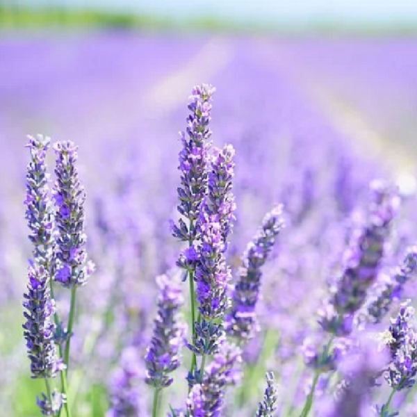 Lavender Munstead 1L