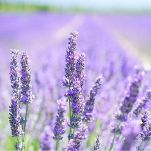 Lavender Hidcote 9cm