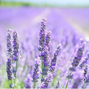 Lavender Munstead 9cm