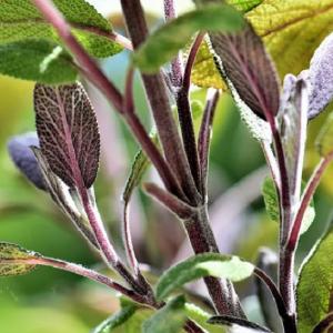 Sage Purple 9cm