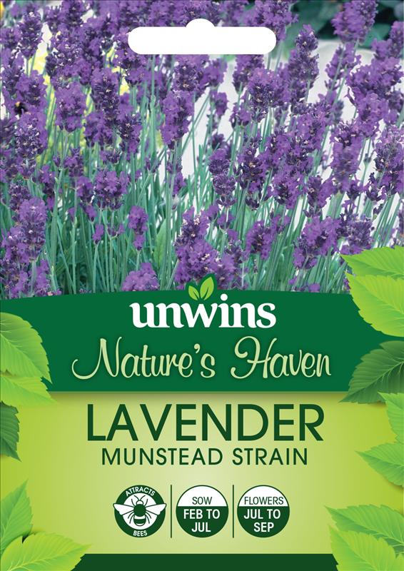 Lavender Munstead Strain