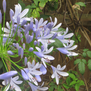 Agapanthus Ever Sapphire
