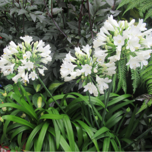 Agapanthus Ever White