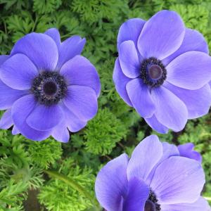Anemone Coronaria Harmony Blue