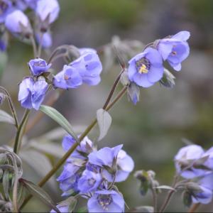 Polemonium Caeruleum Blue