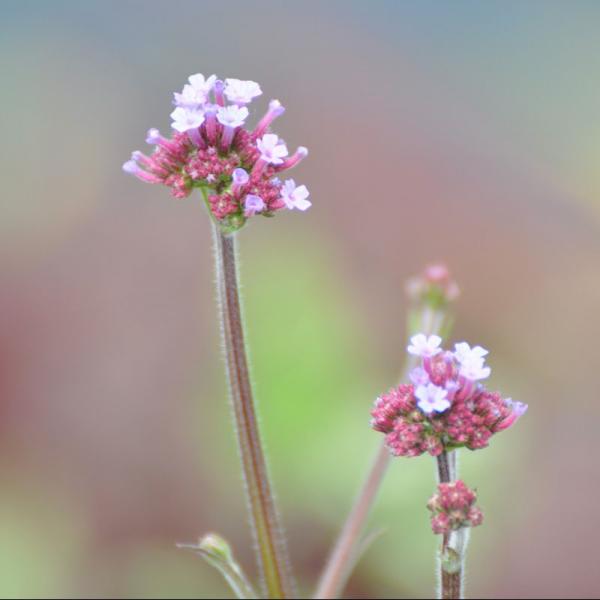 Verbena Bonariensis Lollipop