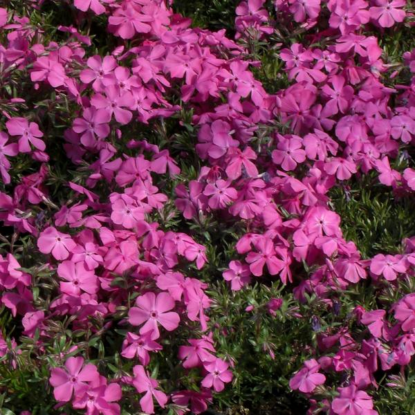 Phlox Subulata Mcdaniels Cushion