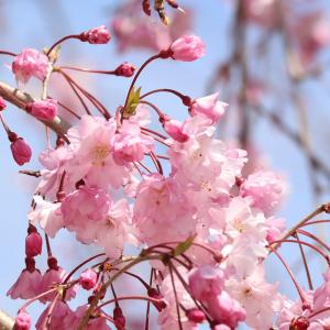 Ornamental Prunus Pendula Rubra