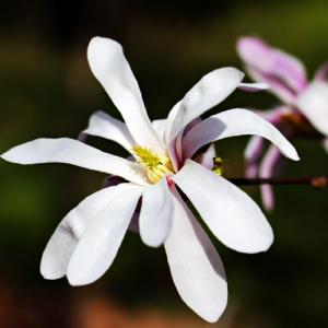 Magnolia Stellata Rosea