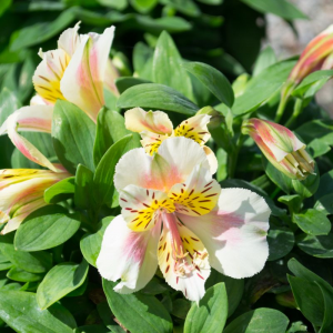 Alstroemeria Little Miss Christina