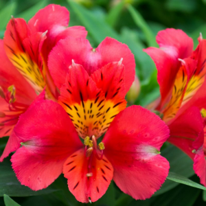 Alstroemeria Little Miss Tara
