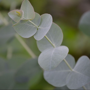 Eucalyptus gunnii France Bleu