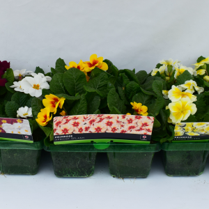 Primrose Scentsation Rhubarb & Custard Super 6 Pack