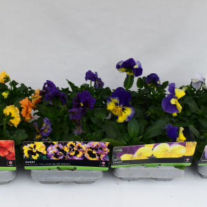 Pansy Purple & White 6 Pack