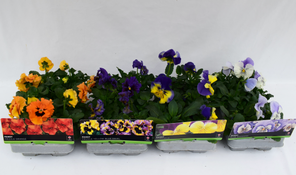 Pansy Sangria 6 Pack