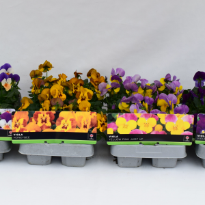 Viola Honey Bee 6 Pack