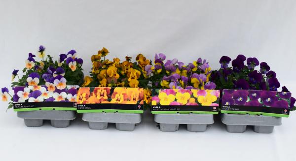 Viola Honey Bee 6 Pack