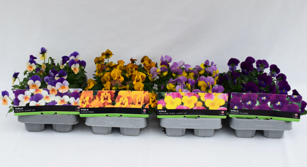 Viola Yellow Blotch 6 Pack