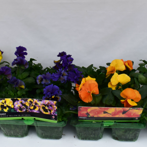 Pansy Novelty Peach Shades Super 6 Pack