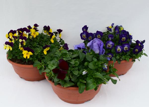 Viola Citrus Mix