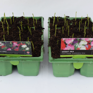 Sweet Pea Cottage Garden Mix 6 Pack