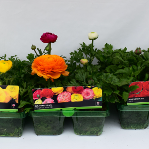 Ranunculus Mixed Super 6 Pack