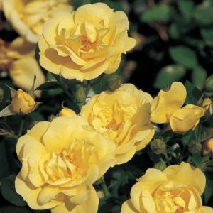Flower Carpet Rose - Gold