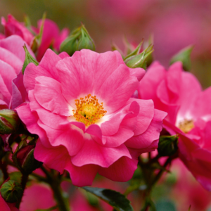 Flower Carpet Rose - Pink