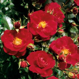 Flower Carpet Rose - Ruby