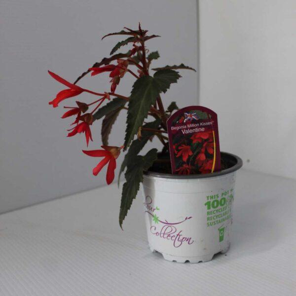Begonia Million Kisses 2 for £5