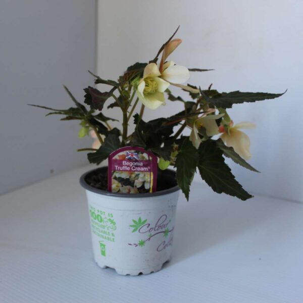 Begonia Truffle Cream 2 for £5
