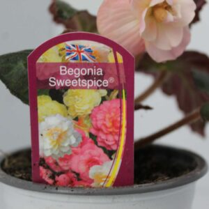 Begonia Sweet Spice 2 for £5