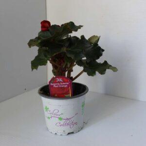 Begonia Solenia 2 for £5