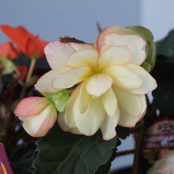 Begonia I'conia 4 for £10