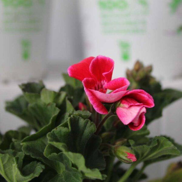 Geranium Savannah 4 for £10